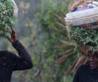"""the illegal farming of the mountainous kingdom's famous """"Swazi gold"""" is a risk many grandmothers are ready to take."""