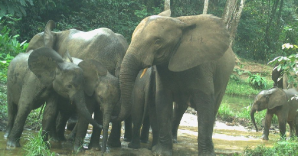 The situation of the elephants here is very terrible, they are really destroying our farmlands