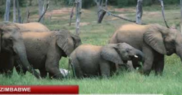 Zimbabwe is selling rights to shoot up to 500 elephants this year